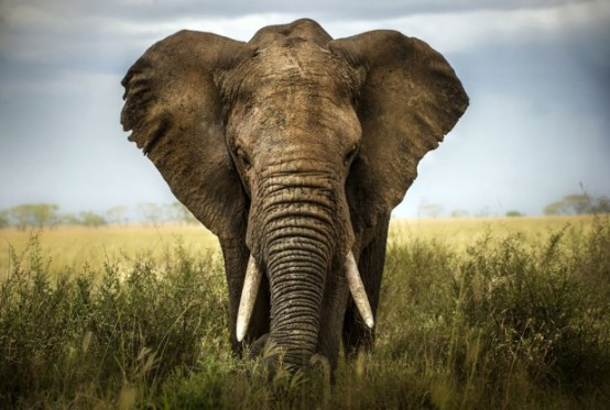 Elephant-African_SS_110613-617x416